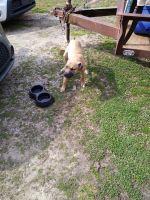 Valley Bulldog Puppies for sale in Cullman, AL 35058, USA. price: NA