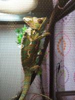 Veiled Chameleon Reptiles for sale in Warwick, RI, USA. price: NA