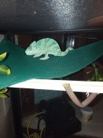 Veiled Chameleon Reptiles for sale in Livingston, TN 38570, USA. price: NA