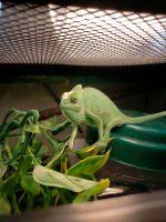 Veiled Chameleon Reptiles for sale in Gastonia, NC 28056, USA. price: NA