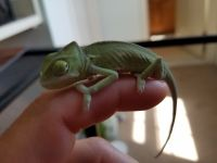 Veiled Chameleon Reptiles for sale in Rochester, NY, USA. price: NA