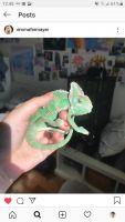 Veiled Chameleon Reptiles for sale in 2326 Pasadena Way, Weston, FL 33327, USA. price: NA
