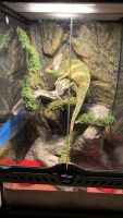Veiled Chameleon Reptiles for sale in Fort Myers, FL, USA. price: NA