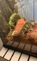 Veiled Chameleon Reptiles Photos
