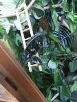 Veiled Chameleon Reptiles for sale in Mocksville, NC 27028, USA. price: NA