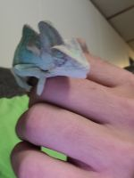 Veiled Chameleon Reptiles for sale in Myrtle Beach, SC, USA. price: NA
