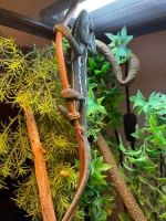 Veiled Chameleon Reptiles for sale in Wentzville, MO, USA. price: NA