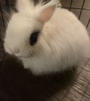 Vienna rabbit Rabbits Photos