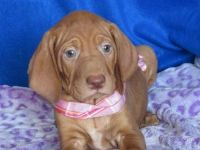 Vizsla Puppies for sale in Huntsville, AL, USA. price: NA