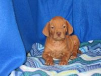 Vizsla Puppies for sale in Metairie, LA, USA. price: NA