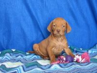 Vizsla Puppies for sale in Elizabeth, NJ, USA. price: NA