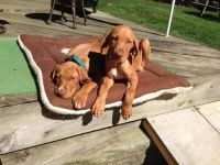Vizsla Puppies for sale in Avon, MA, USA. price: NA
