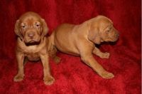 Vizsla Puppies for sale in Detroit, MI, USA. price: NA