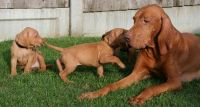 Vizsla Puppies for sale in Wilmington, NC, USA. price: NA