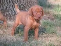 Vizsla Puppies for sale in Beaver Creek, CO 81620, USA. price: NA