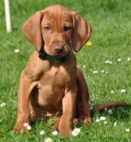 Vizsla Puppies for sale in Chattanooga, TN, USA. price: NA
