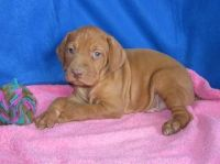 Vizsla Puppies for sale in Houston, TX, USA. price: NA