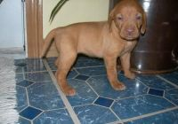 Vizsla Puppies for sale in New Orleans, LA, USA. price: NA