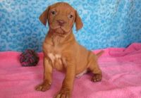Vizsla Puppies for sale in Los Angeles, CA, USA. price: NA