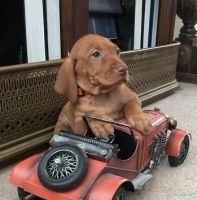 Vizsla Puppies for sale in Burbank, CA, USA. price: NA