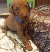 Vizsla Puppies for sale in Yonkers, NY, USA. price: NA