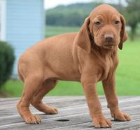 Vizsla Puppies for sale in Washington, VA 22747, USA. price: NA