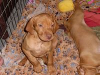 Vizsla Puppies for sale in San Antonio, TX, USA. price: NA