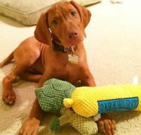 Vizsla Puppies for sale in New Haven, MI 48050, USA. price: NA