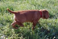 Vizsla Puppies for sale in Columbus, OH, USA. price: NA