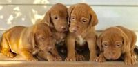 Vizsla Puppies for sale in Tecate, CA 91987, USA. price: NA