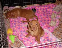Vizsla Puppies for sale in Beverly Hills, CA 90210, USA. price: NA