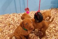 Vizsla Puppies for sale in Debarr Road, Anchorage, AK, USA. price: NA