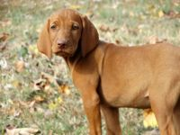 Vizsla Puppies for sale in Fontana, CA, USA. price: NA