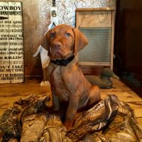 Vizsla Puppies for sale in Como, TX 75431, USA. price: NA