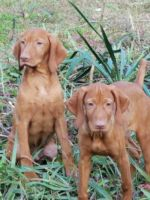 Vizsla Puppies for sale in Callaway, VA 24067, USA. price: NA