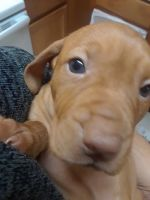 Vizsla Puppies for sale in Airway Heights, WA, USA. price: NA