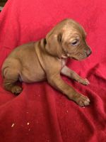 Vizsla Puppies for sale in Newton, IL 62448, USA. price: NA