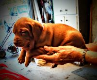 Vizsla Puppies for sale in Bartlesville, OK, USA. price: NA