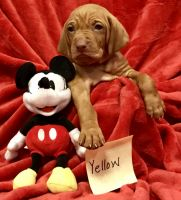 Vizsla Puppies for sale in Weatherford, TX, USA. price: NA