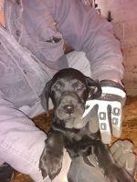 Vizsla Puppies Photos