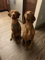 Vizsla Puppies for sale in 812 Renaissance Pointe, Altamonte Springs, FL 32714, USA. price: NA