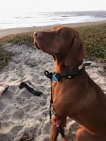 Vizsla Puppies for sale in Upland, CA, USA. price: NA