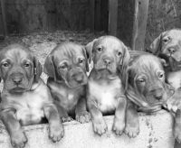 Vizsla Puppies for sale in Bayfield, CO 81122, USA. price: NA