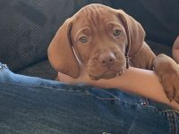 Vizsla Puppies for sale in Eagle, ID, USA. price: NA