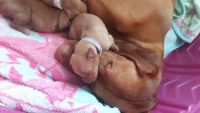 Vizsla Puppies for sale in Aurora, CO, USA. price: NA