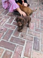 Vizsla Puppies for sale in Fort White, FL 32038, USA. price: NA