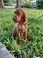 Vizsla Puppies for sale in Wellington, FL, USA. price: NA