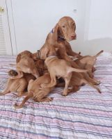 Vizsla Puppies for sale in Terminal 2, 1 World Way, Los Angeles, CA 90045, USA. price: NA