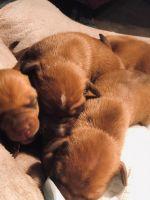Vizsla Puppies for sale in 15151 FL-47, Fort White, FL 32038, USA. price: NA