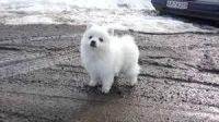Volpino Italiano Puppies Photos